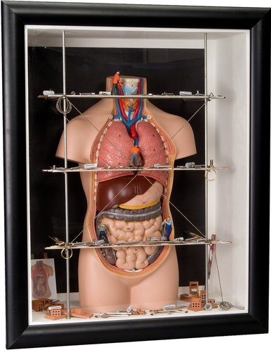 Shadow box big Internal Organs
