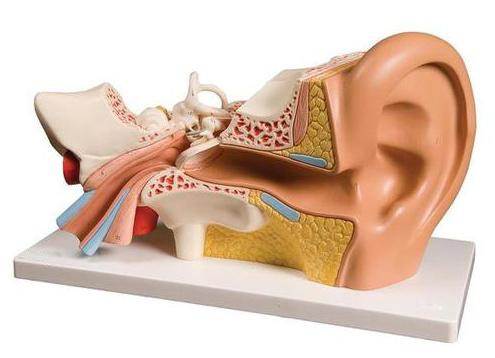 Anatomie-Modell Gehörgang groß (3B) - decus Onlineshop