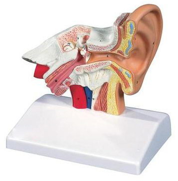 Single model Auditory canal